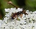 Ichneumon sarcitorius . Female - Flickr - gailhampshire.jpg