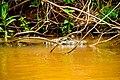 Iguaçu National Park - Aligator.jpg