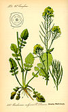 Illustration Barbaraea vulgaris0