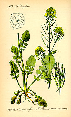 Winterkresse (Barbarea vulgaris), Illustration