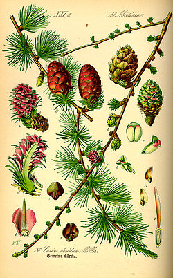 Illustration Larix decudua0.jpg