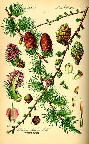 Larix decidua - European larch morphology features from book: Prof. Dr. Otto Wilhelm Thomé Flora von Deutschland, Österreich und der Schweiz, 1885, Gera, Germany.
