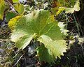 Image-Adenostyles alpina du 09092001 détails feuille.JPG