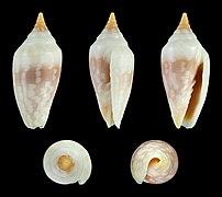 Imbricaria conularis 02.JPG