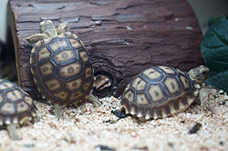 Immature Centrochelys sulcata in East Bay Vivarium.jpg