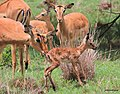 Impala Birth2 (11273628826).jpg