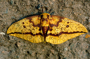 Eacles imperialis
