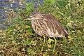 Indian pond heron (Ardeola grayii) India.jpg