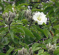 Ipomoea arborescens, a tree Morning Glory (10751749626).jpg