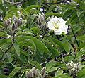 Ipomoea arborescens, a tree Morning Glory (10751749626).jpg