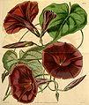 Ipomoea orizabensis (Pharbitis tyrianthina) Bot. Mag. 69. 4024. 1843.jpg