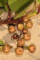 Ipomoea pes-caprae subsp. brasiliensis 5Dsr 7962.jpg