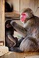 Iwatayama Monkey Park (3811324788).jpg