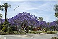 Jacaranda in Grafton Park-2 (22698487096).jpg