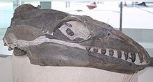 The skull of Janjucetus with a long, slender head similar to dolphins (without the depression for the melon) and with teeth