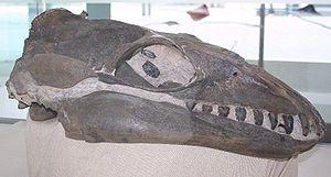 Janjucetus - Image: Janjucetus Melb Museum email
