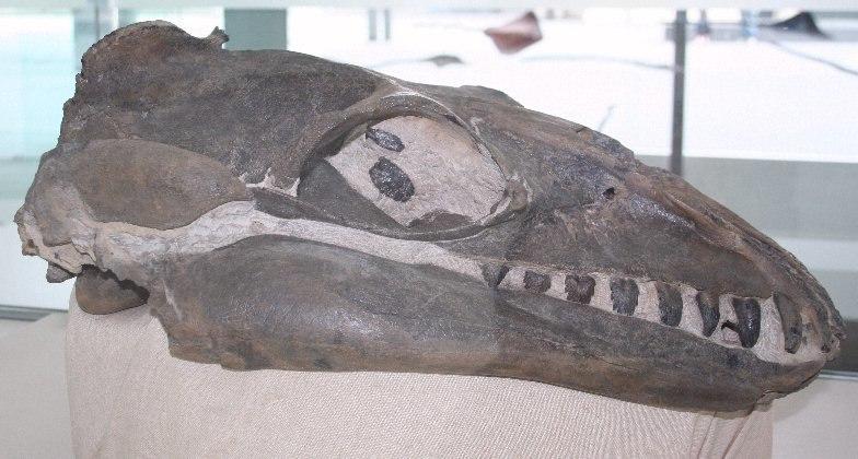 Janjucetus Melb Museum email