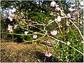 January Frost Botanic Garden Freiburg China Zaubernuß - Master Botany Photography 2014 - panoramio.jpg