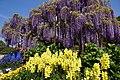 Japanese wisteria, Ashikaga Flower Park 4.jpg