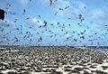 Jarvis Island Sooty Terns.jpg
