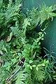 Jasminum arboreum, Conservatoire botanique national de Brest 02.jpg