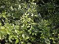 Jasminum didymum foliage.jpg
