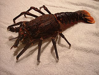 <i>Jasus lalandii</i> Species of spiny lobster of the family Palinuridae from South Africa