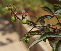 Jatropha gossypiifolia I.jpg
