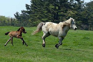 Jeju horse - Jeju horse (mare and foal)