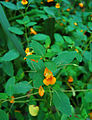 Jewel Weed Impatiens capensis Leaves and Flower 2600px.jpg