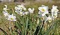 Jonquil flowers05.jpg
