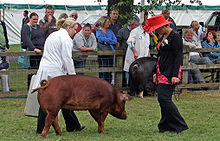 A Duroc sow at a livestock show in England