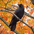 Jungle Crow 20171021 Aomori Prf Japan IMG 4540.jpg