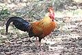 Jungle Fowl - National Bird of Sri Lanka.jpg