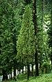 Juniperus communis 1.jpg
