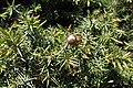 Juniperus oxycedrus kz27 (Morocco).jpg