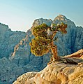 Juniperus phoenicea Petra.jpg