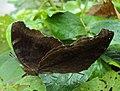 Junonia iphita - Chocolate pansy mating 04.JPG