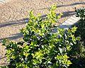 Juvenile Pock Ironwood tree - Chionanthus foveolatus - Cape Town 3.jpg