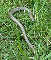 Juvenile slow worm, Rogiet.jpg