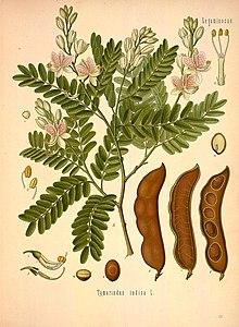 Семена тамаринда (Tamarindus Indica)