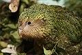 Kakapo chick (8528282263).jpg