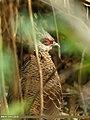Kalij Pheasant (Lophura leucomelanos) (33692332244).jpg