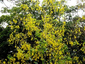Cassia fistula - Cassia Fistula (Golden Shower tree / Konnappoo) inside forest in eastern parts of Kerala state in India