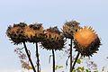 Kardoen (Cynara cardunculus), Locatie De Kruidhof 05.JPG