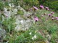 Kartäuser Nelke und ästige Graslilie.jpg