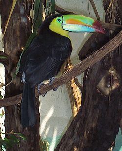 Keel-billed Toucan in the Zürich Zoo