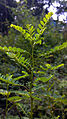 Keezhaarnelli Phyllanthus niruri 1.jpg