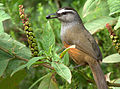 Kerala Laughingthrush by N.A. Nazeer.jpg