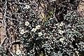 Kewa angrae-pequenae = Hypertelis angrae-pequenae (Kewaceae-Molluginaceae) (37414300296).jpg